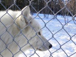Parc à loups - Loup arctique de la fratrie