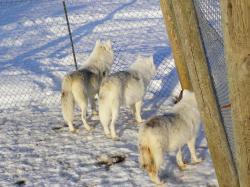 Parc à loups - Loups arctiques de la meute