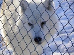 Parc à loups - Loup arctique de la meute